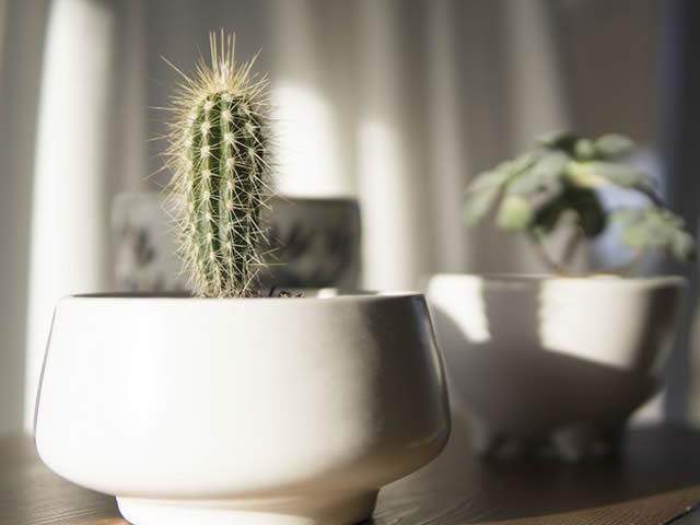 cactus pequeno em vaso